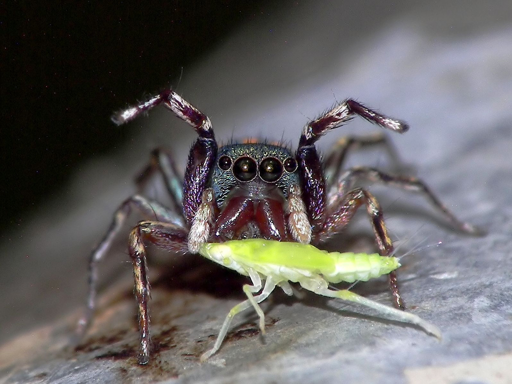 Feeding salticid from Hong Kong