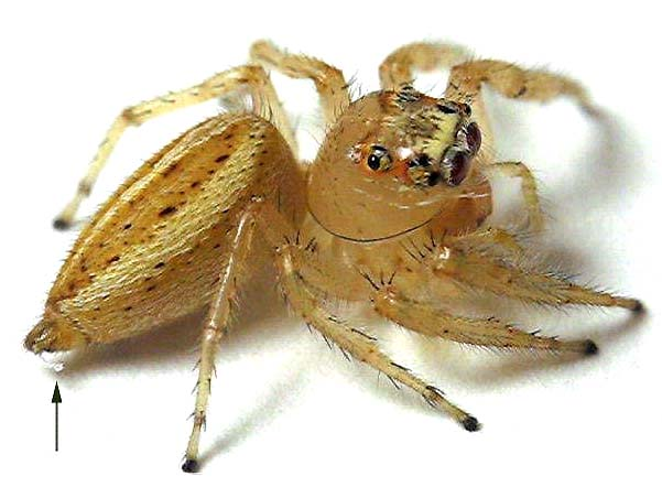 Adult female Thiodina sylvana